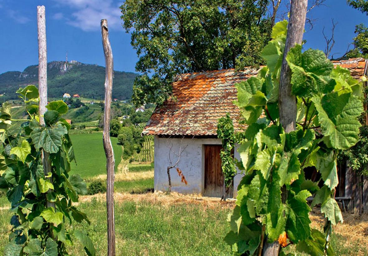 Traditional Croatian vineyard