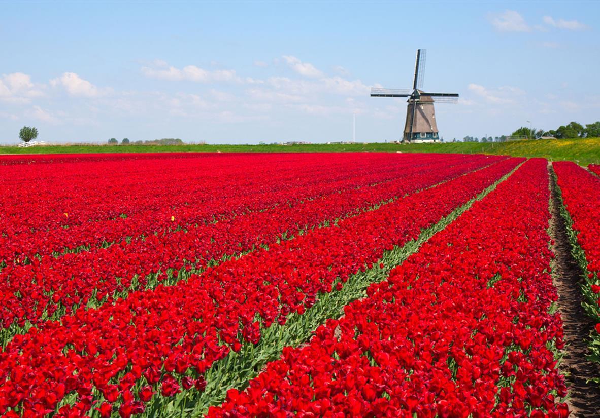 Row upon row of tulips