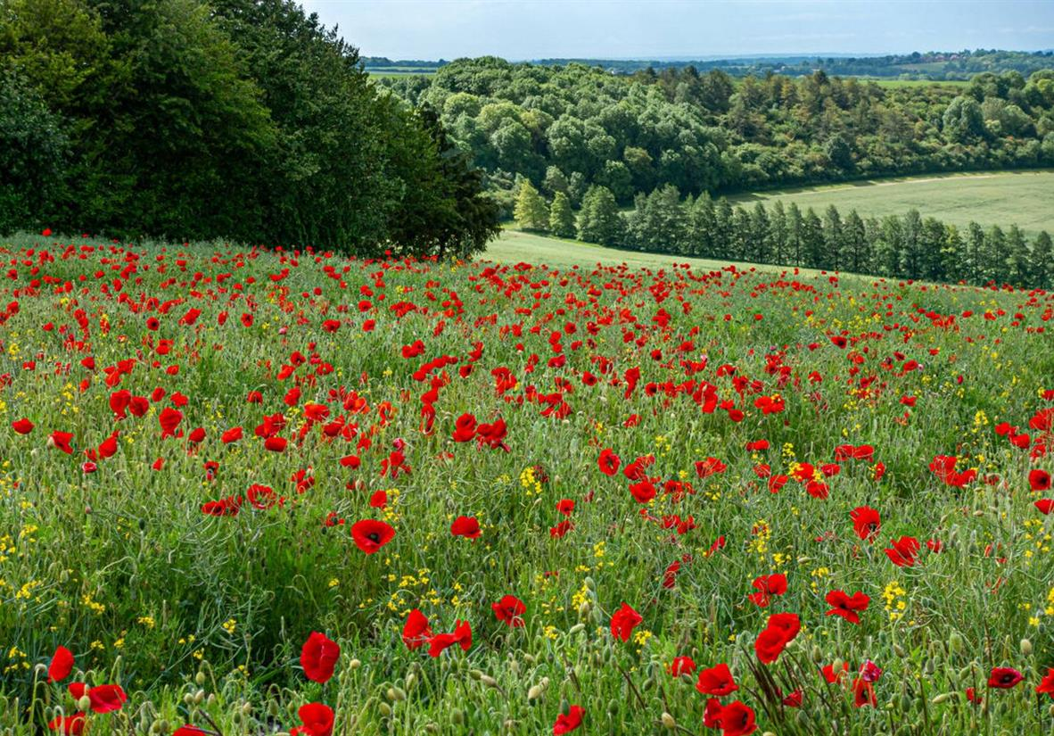 Poppies along the way