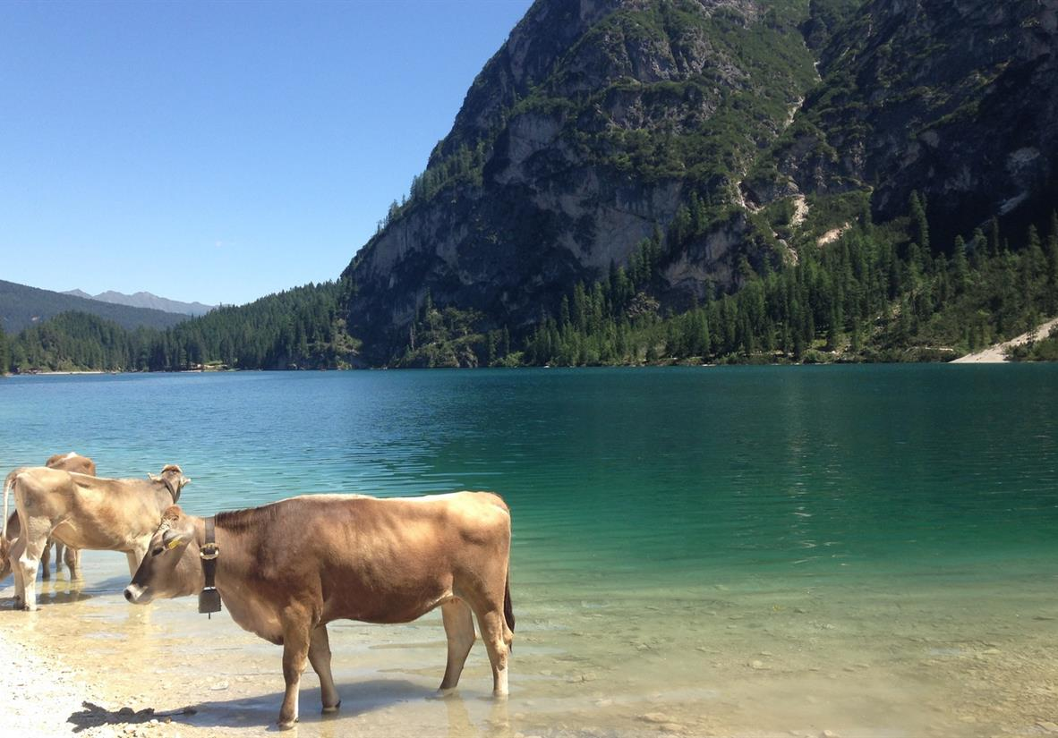 Alpine cows cooling off in Lago di Braies