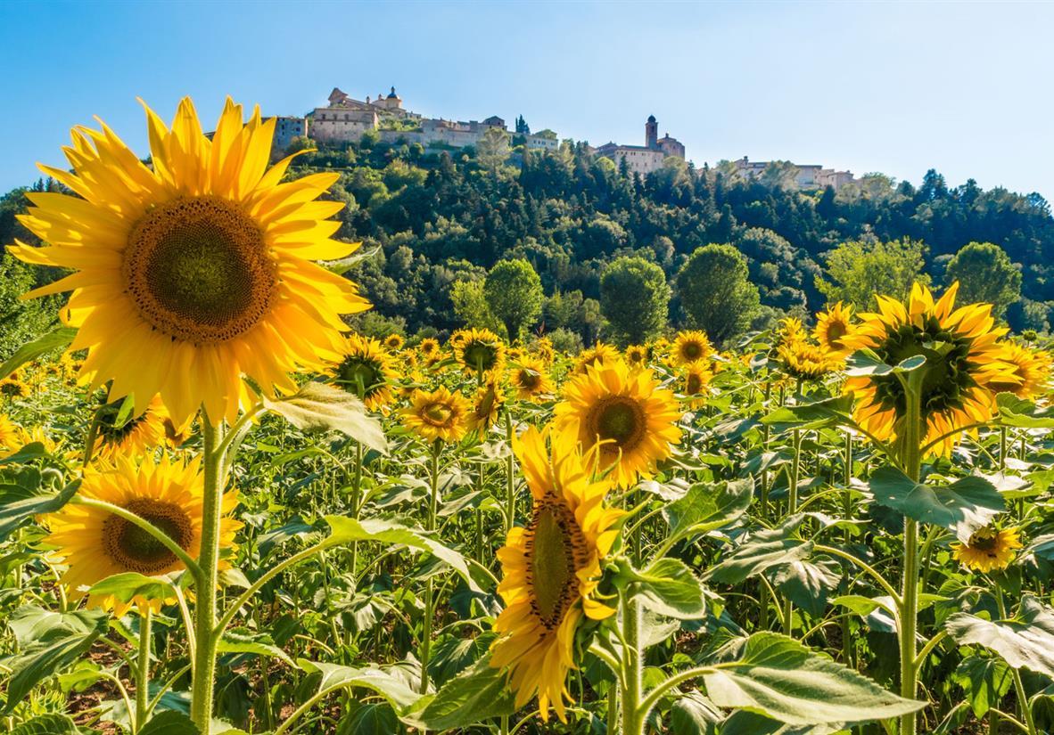 Sonnenblumenfelder am Wegesrand