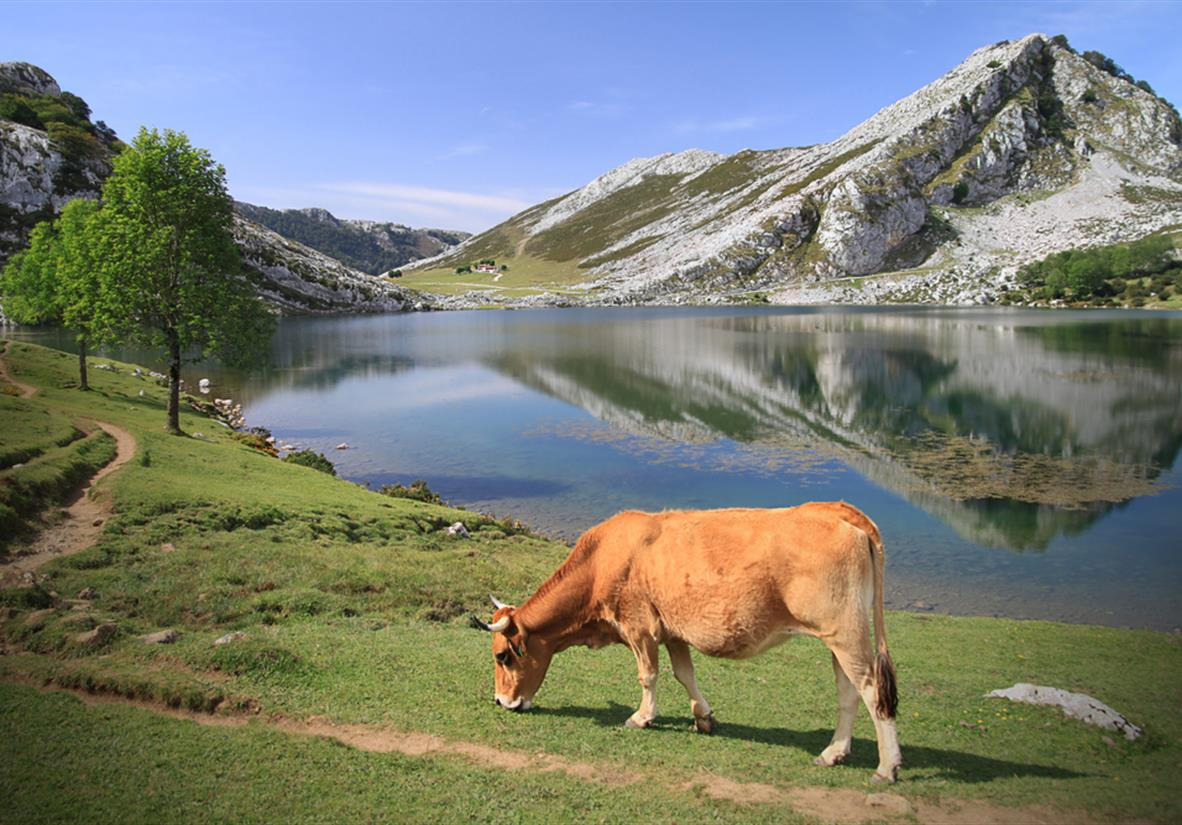 Cow grazing at waters edge in Asturias