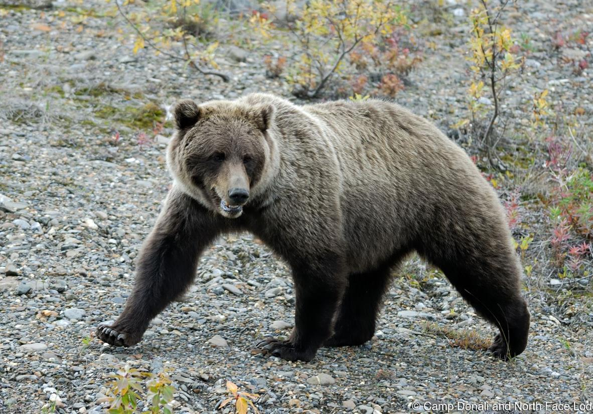 Bear viewing from Camp Denali bus