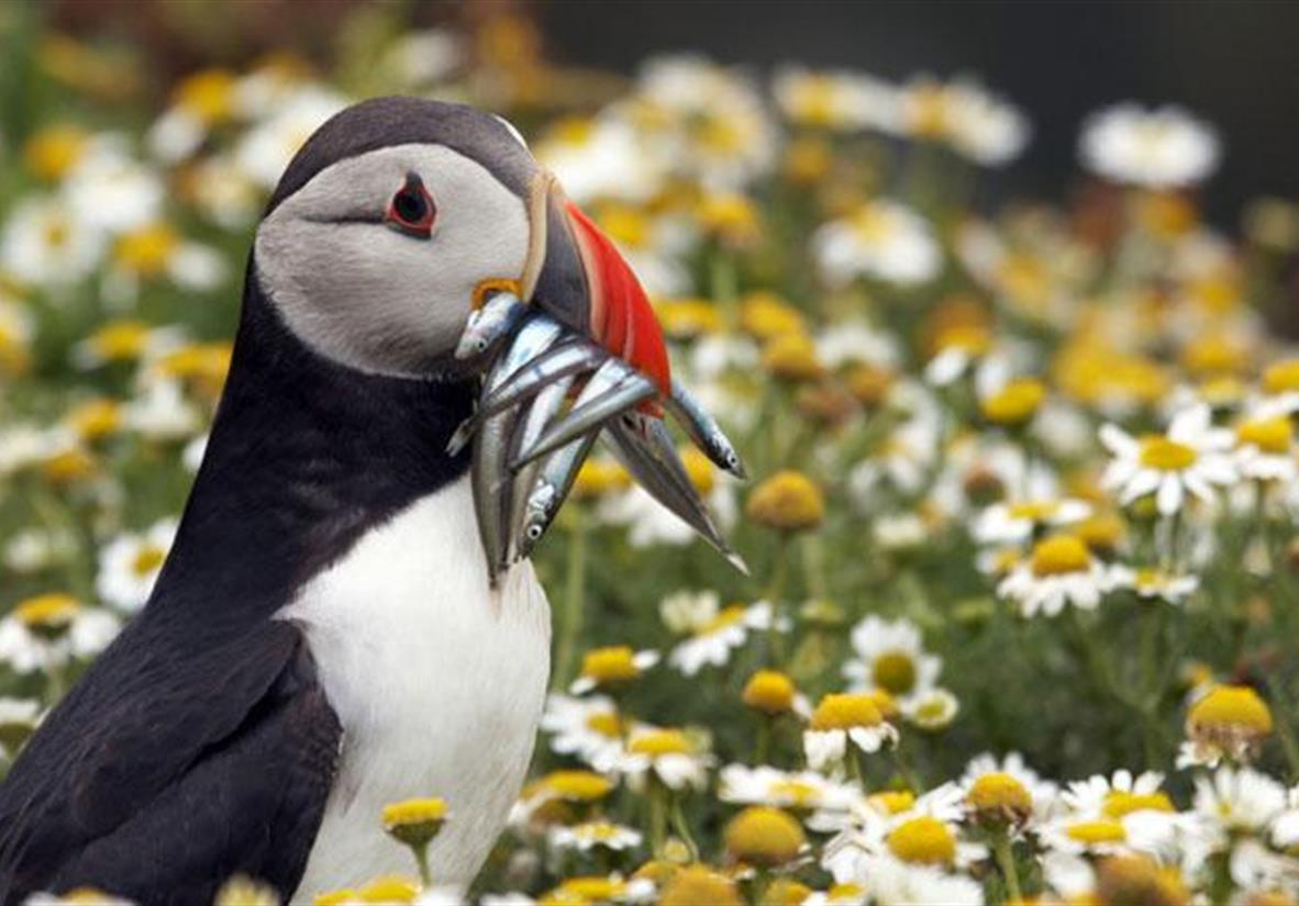 Puffin on the Pembrokeshire Coast Path