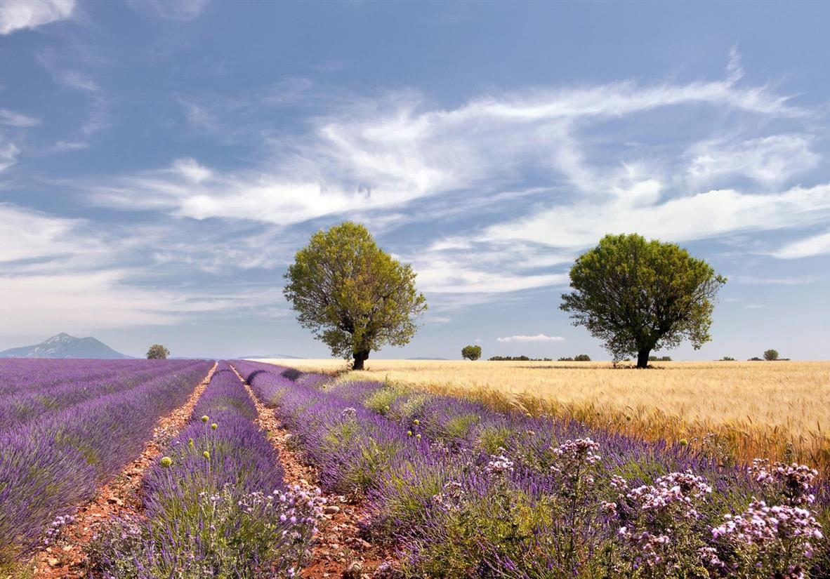 Provence Lavendelfeld